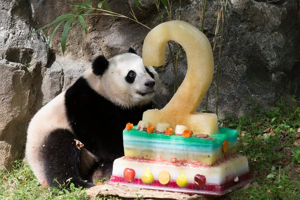 Bao Bao just celebrated her second birthday with a frozen fruitsicle cake, and Tai Shan turned 10 earlier this year, making him ready to try for his own set of cubs. Photo credit: Michael Reynolds, European Pressphoto Agency.