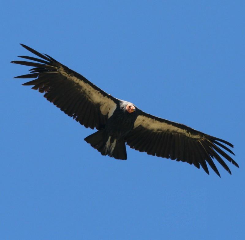 california-condor-recovery