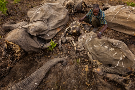 The aftermath of poaching; rangers are increasingly finding entire herds of slaughtered elephants. Photo credit: National Geographic.
