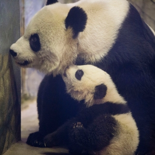 For pandas, zoos rely on artificial insemination to produce successful pregnancies. To avoid inbreeding, pandas are fertilized with sperm from genetically distinct pandas, often from zoos half way around the world. Photo credit: MSNBC.