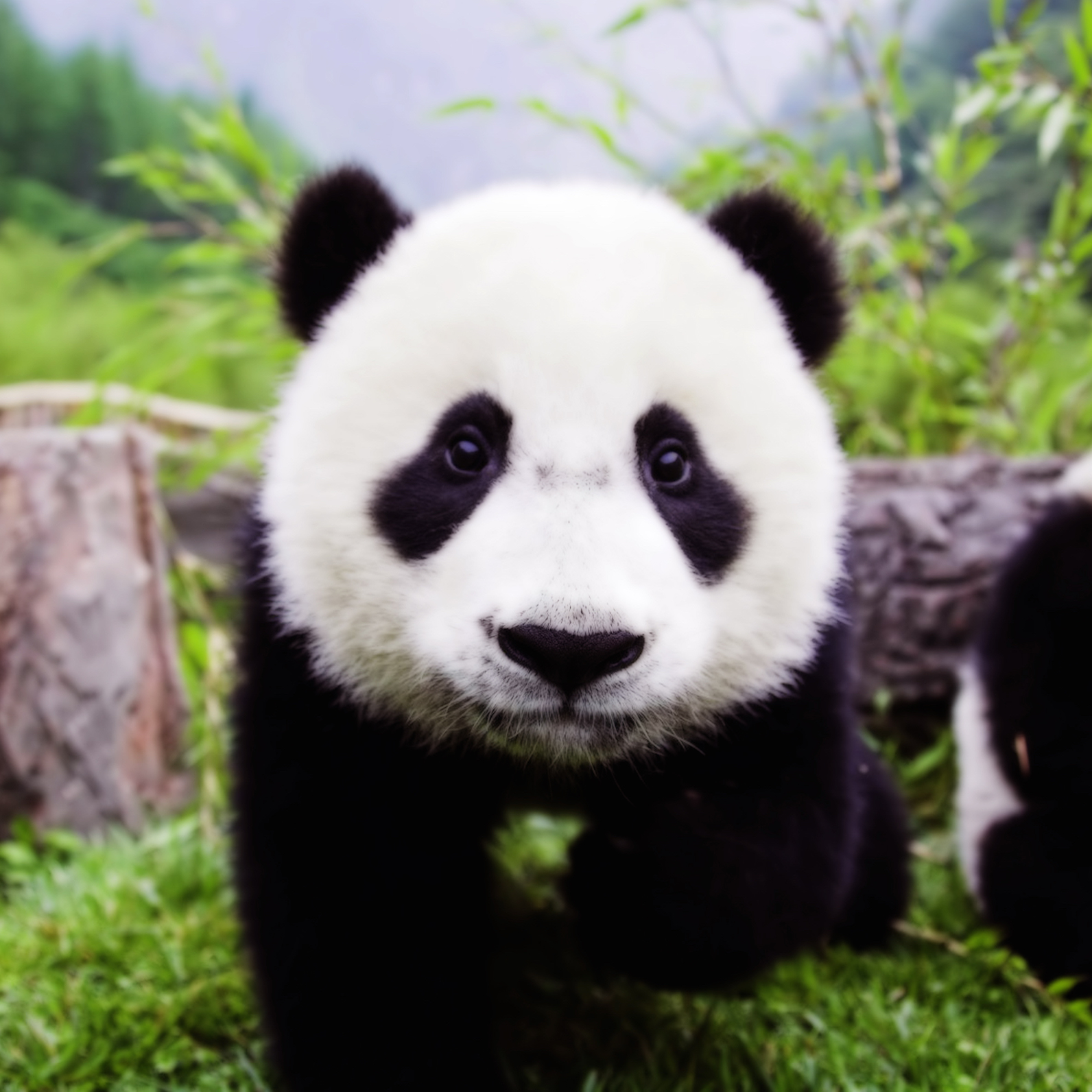 panda-conservation-efforts-zoos