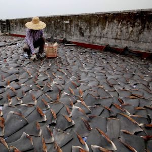 a monumental step towards halting the shark fin trade, UPS banned shark fin shipments in 2015. Petitions are underway for FedEx to do likewise. Photo credit: Smithsonian.