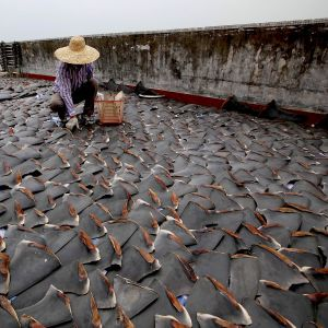 a monumental step towards halting the shark fin trade,UPSbanned shark fin shipments in 2015.Petitions are underway for FedEx to do likewise.Photo credit: Smithsonian.