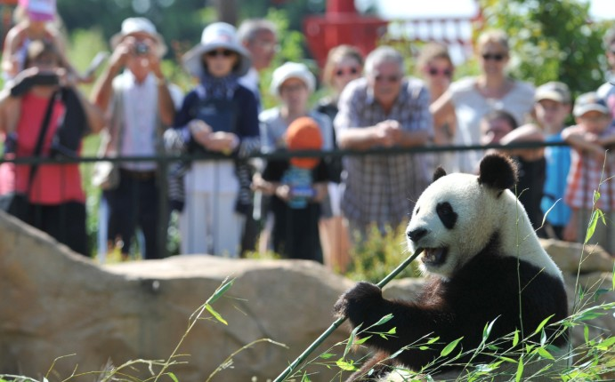 Visitors look at Huan Huan, one of the two giant pandas which arrived last winter in France from China, is pictured, on August 23, 2012, at Beauval zoo in Saint-Aignan, central France. AFP PHOTO ALAIN JOCARD (Photo credit should read ALAIN JOCARD/AFP/GettyImages)