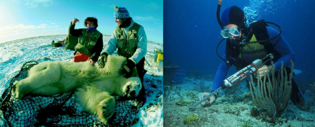 Wildlife biologists taking samples from an anesthetized polar bear in (left) and a scientific diver taking samples at a coral reef (right). Successful conservation involves the cooperation of wildlife biologists, statisticians, park rangers, ecologists, policy makers, volunteers, and the public. Photo credit: Biology Reference.