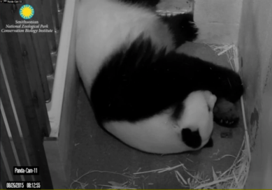 Click to access live feed of Mei Xiang and her cubs through the Smithsonian National Zoo PandaCam. Photo credit: Smithsonian National Zoo.