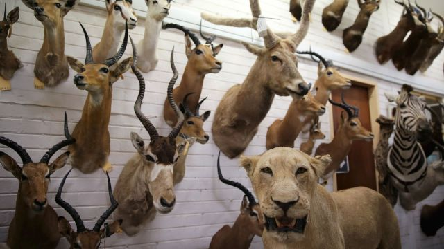 By targeting animals with big horns or impressive tusks, hunters are altering the evolution of already endangered species. Photo credit: Reuters, Siphiwe Sibeko.