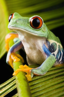 A red eyed tree frog, one of the most iconic species of the Amazon. Photo credit: Getty Images.