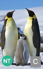 The emperor penguin. is a candidate for ESA listing. Photo credit: Ian Duffy.