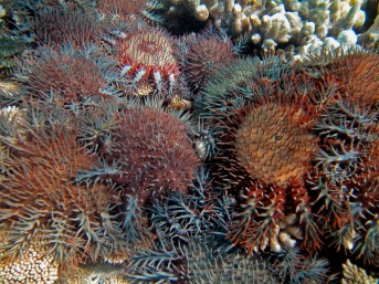 An outbreak of crown of thorns starfish, or COTS for short. Photo credit: Science in Public.