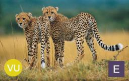 Cheetah (Acinonyx jubatus). Photo credit: IFAW.