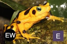 The panamanian golden frog is extinct in the wild. Photo credit: Darren Smy.