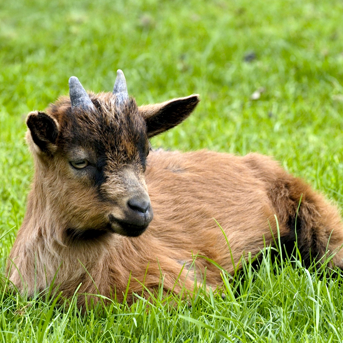 the traitorous goats of the galapagos islands