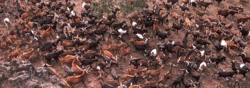 Hordes of invasive goats on Isabella Island. Photo credit: Galapagos National Park Service.