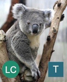 The koala and other non-US species may be covered under the ESA, although the government can't protect their habitats. Photo credit: David Hancock, Getty Images.