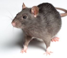 Rats are commonly exterminated using huge quantities of toxic rat poison, often necessitating the removal of the threatened local fauna until the project has been completed. Photo credit: Shutterstock.