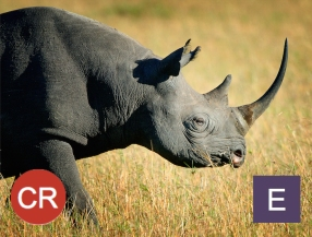 The Black rhino is critically endangered (IUCN RedList). Photo credit: Billy Dodson.