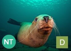 Steller sea lion (Eumetopias jubatus). Photo credit: Jon Cornforth.