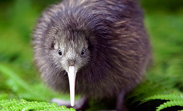 The kiwi is an iconic flightless bird native to New Zealand. Photo credit: Chris McLennan.