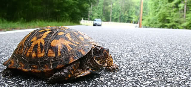 Turtles are a common victim of roadkill due to their small size and slow speed. Turtles live a long time, and a properly marked turtle may remain reflective in headlights for decades. Sadly, many turtles that end up as roadkill may have been 50 or 60 years old. Photo credit: Ladonia Herald.
