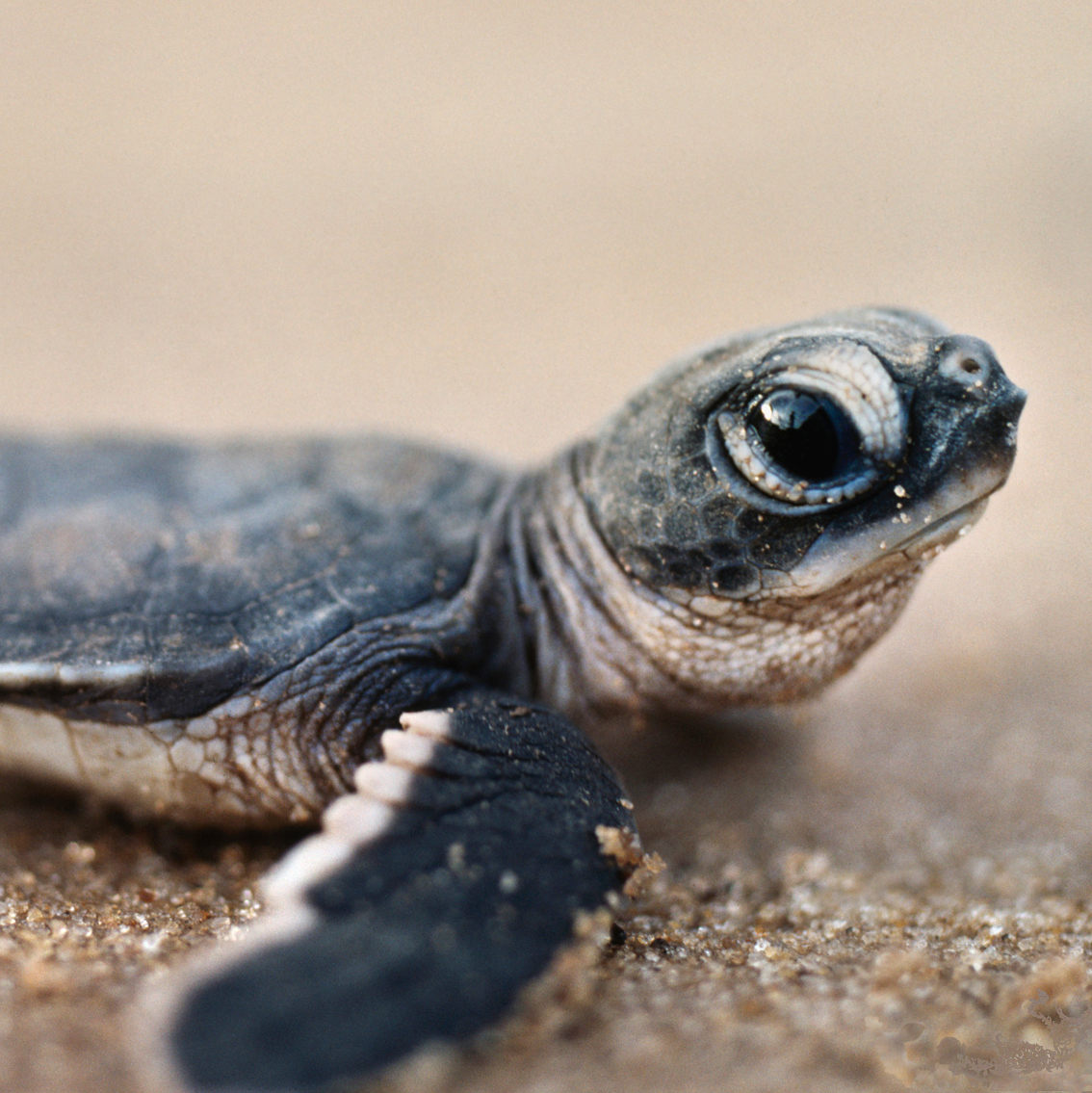 sea-turtle-hatchling-costa-rica