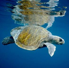 olive-ridley-sea-turtle-lepidochelys-tui-de-roy