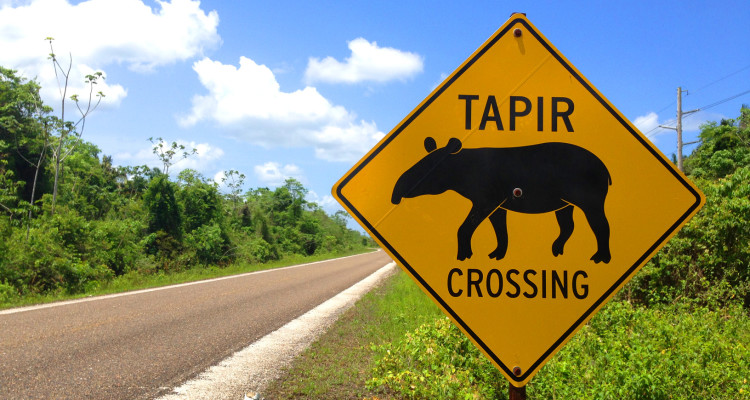 The risk of becoming roadkill is a major threat for tapirs. Other population threats include habitat destruction and poaching. Photo credit: Belize Travel Magazine.