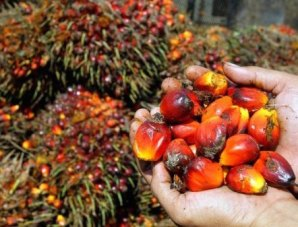 A handful of palm kernels, which are pressed to extract palm oil. Photo credit: Phys.org.