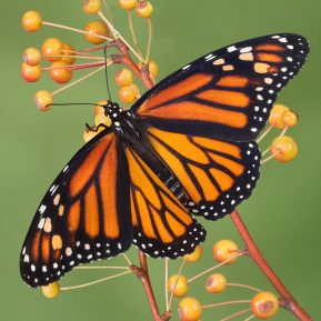 monarch-butterfly-recovery-highway