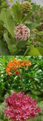 common-milkweed_0627_160449