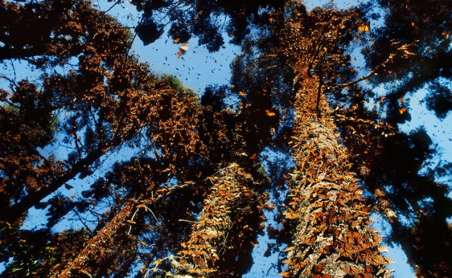 Monarch butterfly wintering colony