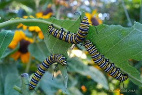 monarch-caterpillars-eating-common-milkweed-c2a9kim-smith-2012jpg