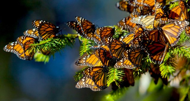 Monarch Butterflies Migrate to Central Mexico