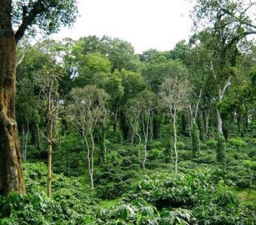 shade-grown-coffee easy ways to go green