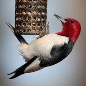 bird feeder window strikes