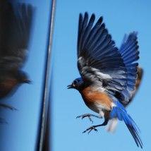 bird collision thumbnail