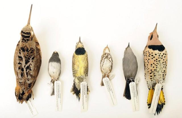 bird-deaths-from-window-strike