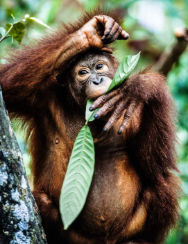 Rehabilitated young orangutan Perry van Duijnhoven