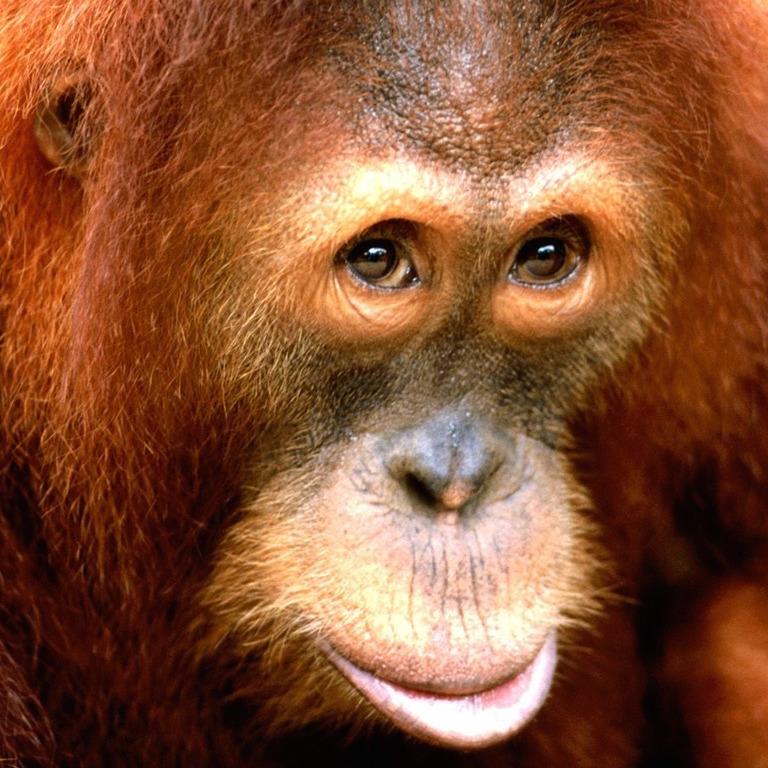 orangutan-conservation-drones