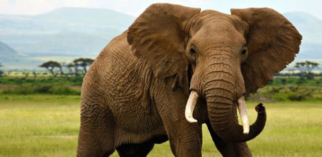 elephant-flagship-species