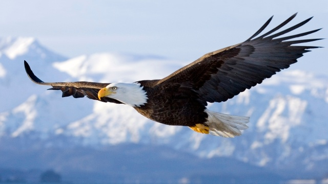 bald-eagle-flagship-species