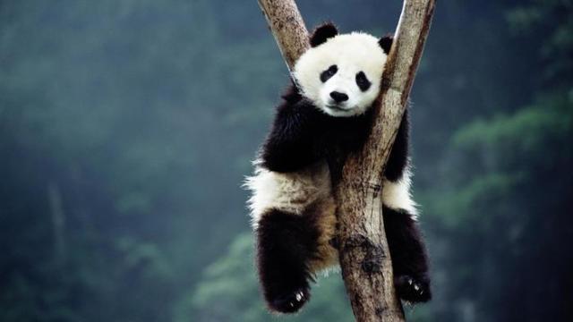 panda-flagship-species