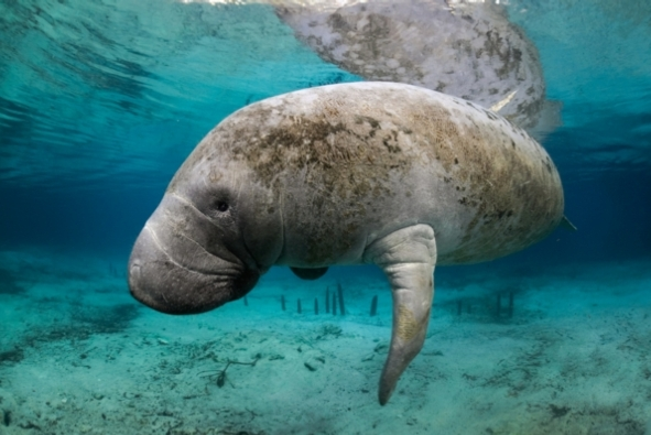 Florida manatee Carol Grant:Getty Images