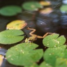 Frog pond Lonny