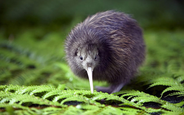 flagship-species-kiwi-bird
