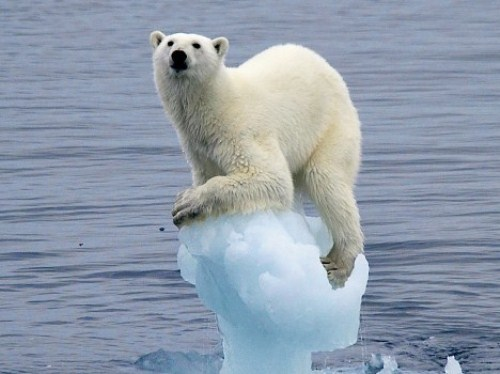 polar-bear-flagship-species