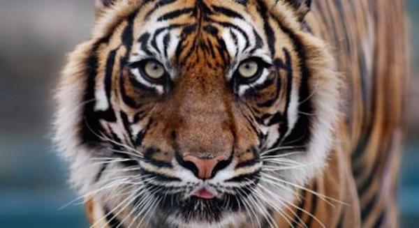 tiger-flagship-species