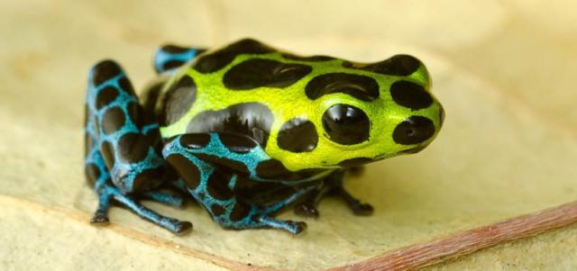 poison-dart-frog-chytrid