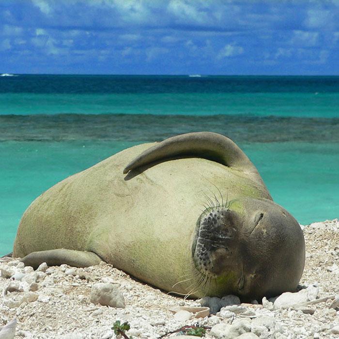monk-seal-papahana