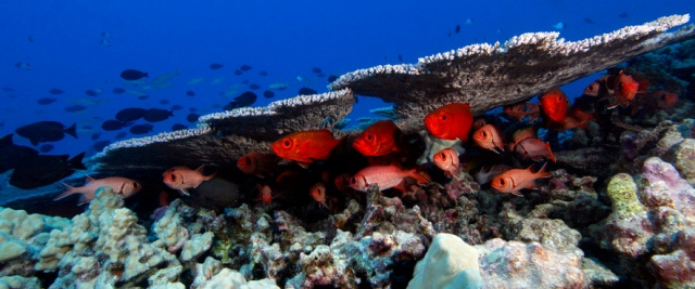 papahanaumokuakea-cardinal-fish